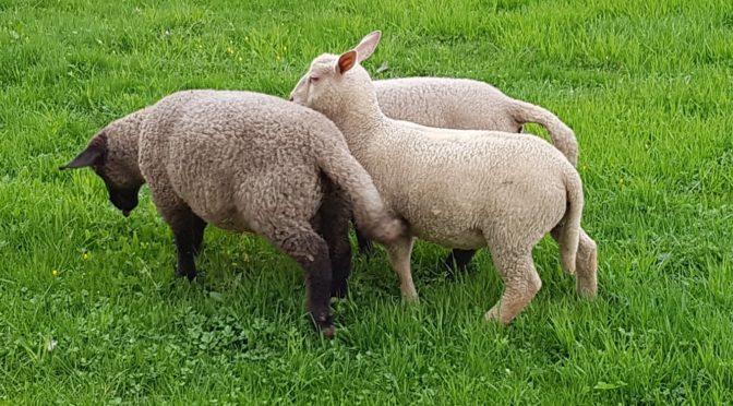 Neue Schafe 2016